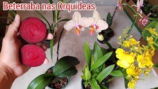 Use Esse Adubo de Beterraba Em Suas Orquídeas e Veja o Resultado Incrível