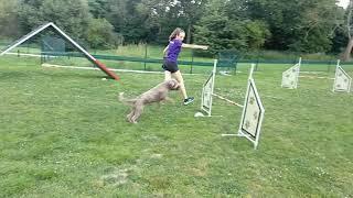 Lagotto romagnolo | agility training | 9.8.2020
