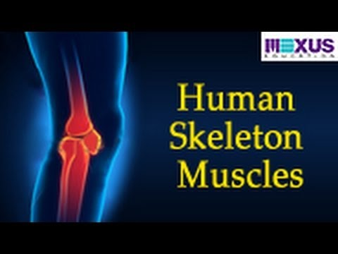 Human Skeleton - Muscles