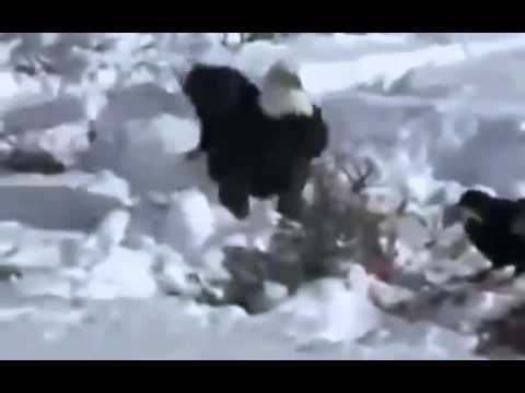 Discovery Animal | Grizzly Bears VS Wolves Survival Documentary