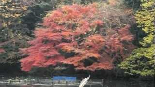 Meiji Shrine Inner Garden in autumn (明治神宮 御苑 紅葉)