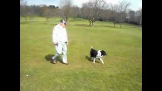 Training A Dog Reactive Collie