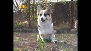 СТС-Курск. Собаки английской королевы. 19 октября 2012