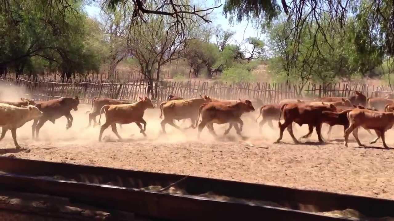Becerros y Becerras raza Beefmaster - Rancho El Alamillo