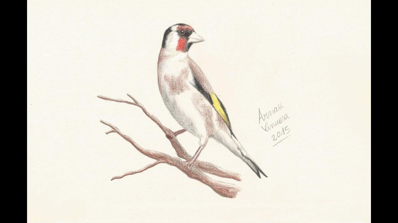 Drawing a goldfinch with watercolor pencils  Dibujando un
