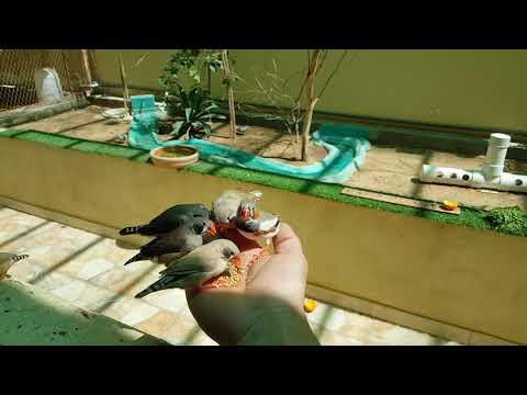 تربية العصافير و الزيبرا في قفص كبير