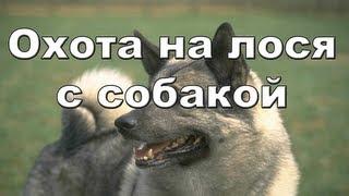 Охота на лося с собакой видео онлайн 2012-2013 Moose hunting in Russia.