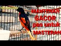 Burung Mantenan Gacor Muda Hutan  Mp3 - Mp4 Download