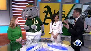 A's mascot Stomper dances in the ABC7 studio!