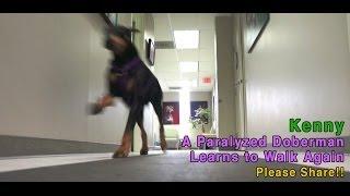 Kenny - A Paralyzed Doberman Learns To Walk Again - PLEASE SHARE thumbnail