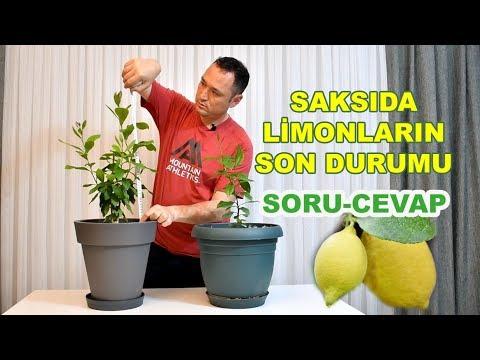 Çekirdekten yetiştirdiğim limonların son durumu. Soru Cevap.