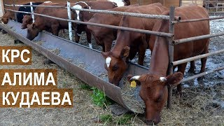 видео: Фермерское хозяйство Алима Кудаева.  Молочный скот. Кабардино-Балкария