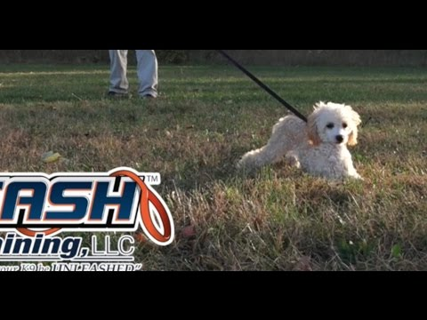 Dog Training: 5 Month Old Toy Poodle, Maggie! Before/After 2 Week Board and Train!