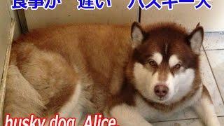 毎日の食事の時間の掛かるハスキー犬アリス君 ハスキー犬 クッキーは一...