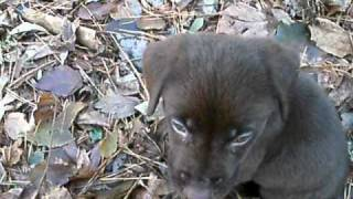 Max Chocolate Lab Puppy 7 Weeks
