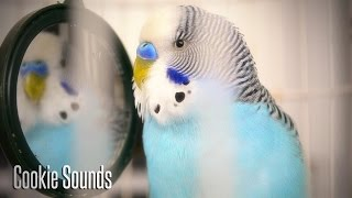 Budgie sounds | Cookie singing to Mirror