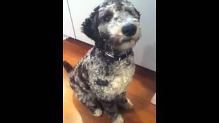 Amazing Poodle Mix!