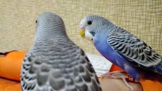 Фиолетовый окрас волнистых попугаев