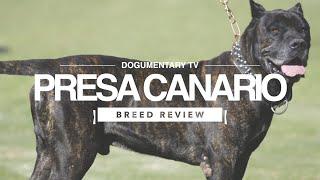 PRESA CANARIO BREED REVIEW