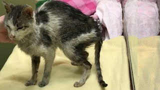 Emaciated and Starving Cat Was In Terrible Condition With Amazing Transformation After Rescued