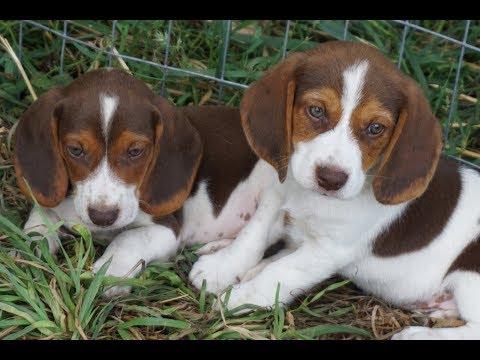 Chocolate Beagle puppies with mom Amber the lemon Beagle
