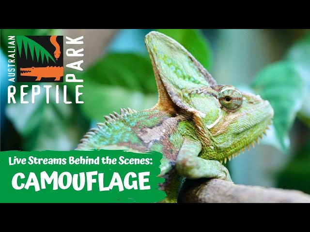 LIVE WITH CHAMELEONS, GECKOS AND DEATH ADDERS   AUSTRALIAN REPTILE PARK