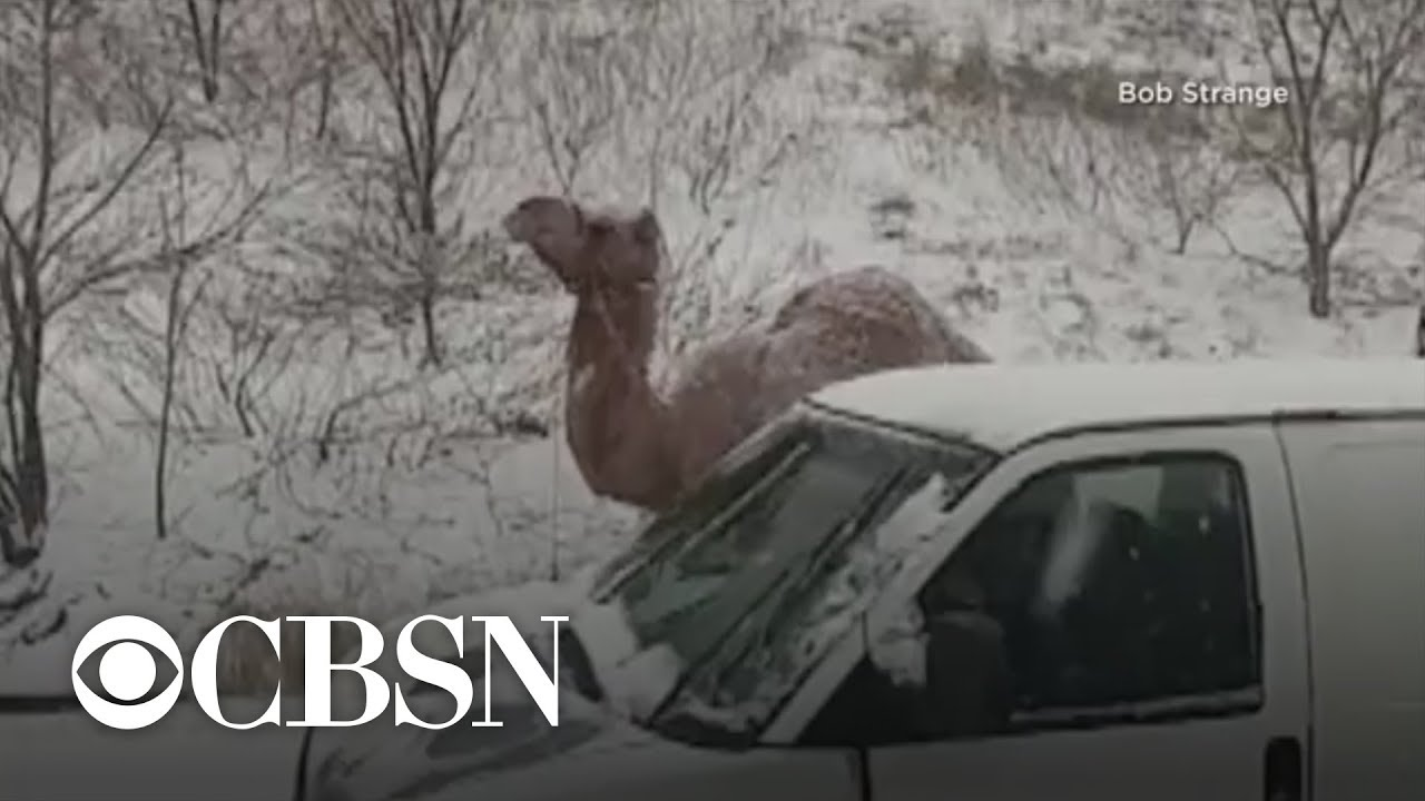 Camel spotted on Pennsylvania highway during snowstorm
