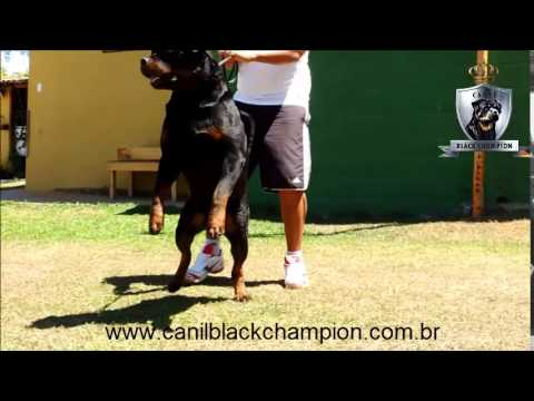 Canil Black Champion - Doc Jecki Black Champion