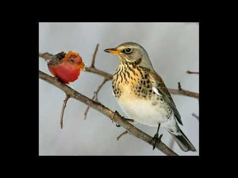 Uccelli - Cesena - Canto degli Uccelli