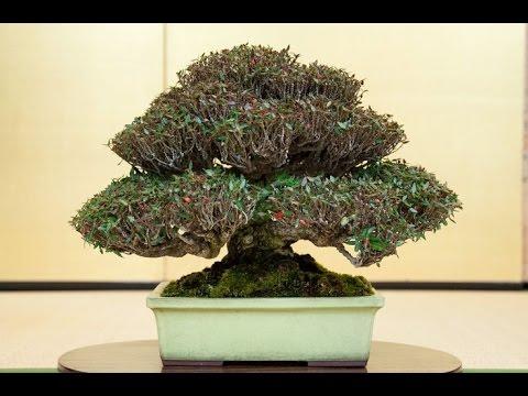 Exotic Orange Jasmine Bonsai Tree Youtube