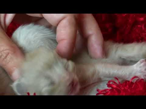 AVAILABLE KITTENS CAPPACHINO'S Ragdoll Kittens May 30, 2018- A Ragdoll To Love Cattery