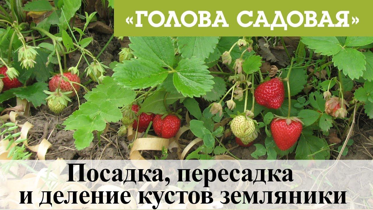 Голова садовая - Посадка, пересадка и деление кустов земляники