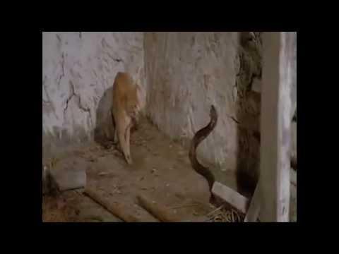 Snack vs cat attack