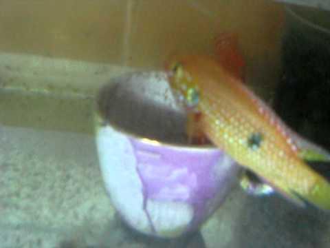 Jewel Fish Breeding Part 1G of N