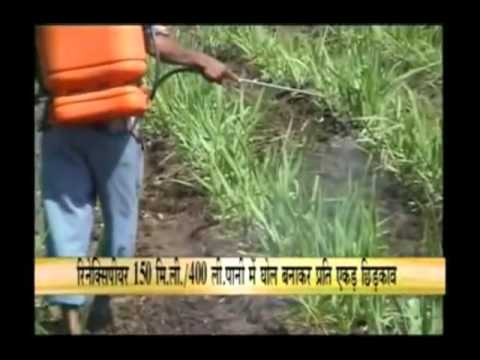 Know about pest control in sugarcane crop