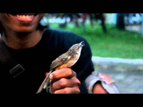 Download Lagu SUARA BURUNG : Ciblek Bajak Laut Dipegang Tangan Masih Nembak Ngebren