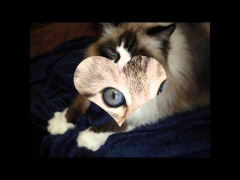Охос азулес, или голубоглазка (Ojos azules cat) породы кошек( Slide show)!
