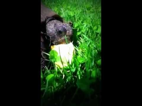 Tortuous eating an apple