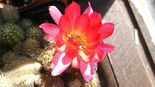 My Chamecereus Cactus plant  hybrid 'Rose Quartz' in beautiful flower