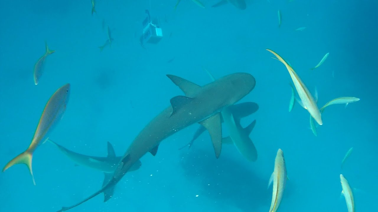 Snorkeling With Sharks In The Bahamas Stuart Coves Nassau