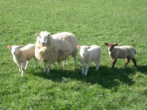Raising Sheep on the Homestead