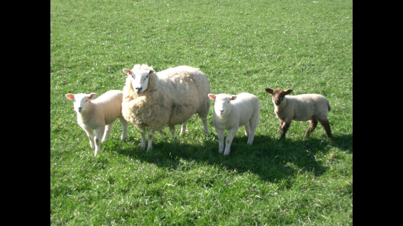 raising sheep on the homestead youtube