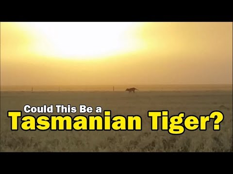 Could This be a Tasmanian Tiger