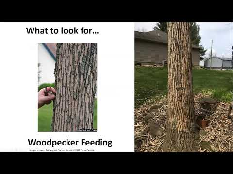 Forest Invaders & How To Manage Them, Pt. 1: EAB, 1000 Cankers Disease, Asian Longhorned Beetle
