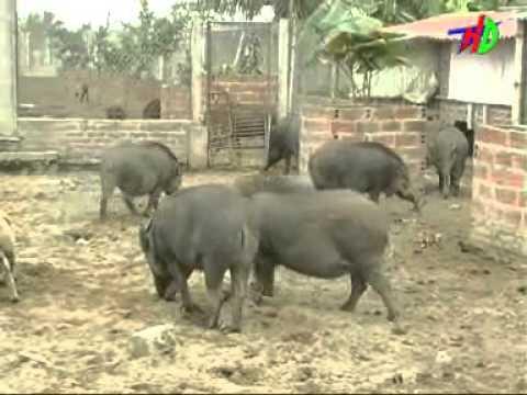 Trang trại lợn rừng Hưng Thủy -Kim Lương, Kim Thành, Hải Dương