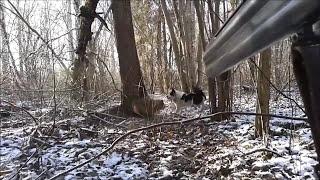 Охота на енота с лайкой февраль 2015
