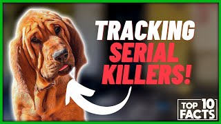 Bloodhound Facts: 10 Interesting Facts You Won't Believe