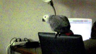 папугай жако Гоша и кот Риш4
