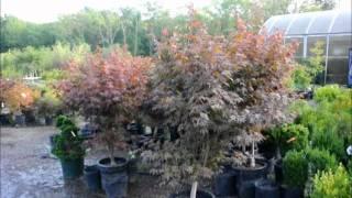 planting ajuga in pots