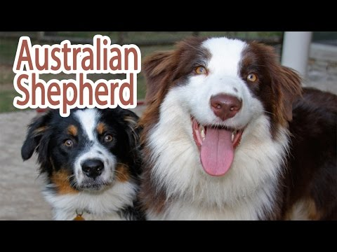 Australian Shepherd Breed